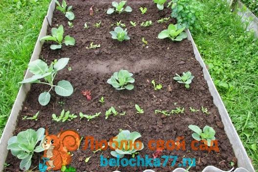 Брюссельская капуста растёт долго - можно сеять с ней салат, цветы на рассаду (здесь цинии)