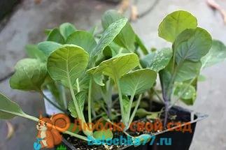 брюссельская капуста - выращивание и уход