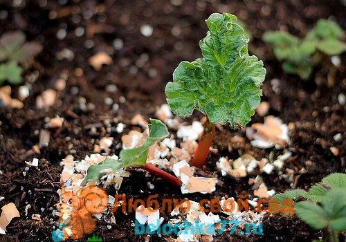 яичная скорлупа как удобрение и защита