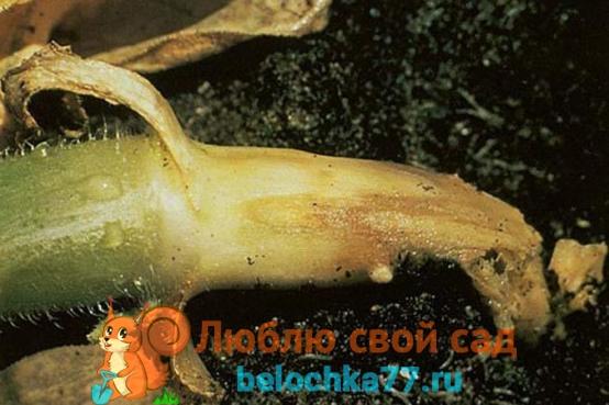 корневая гниль огурца