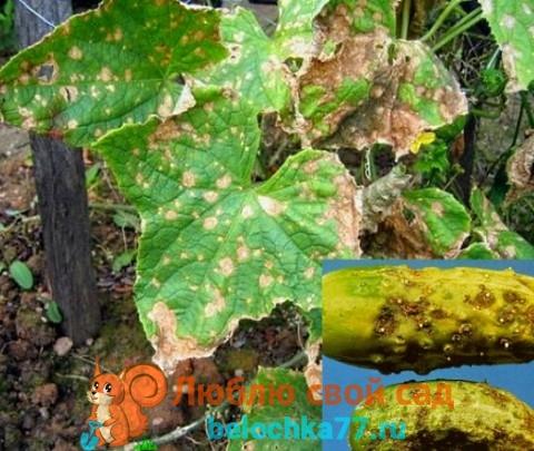 Оливковая пятнистость огурца