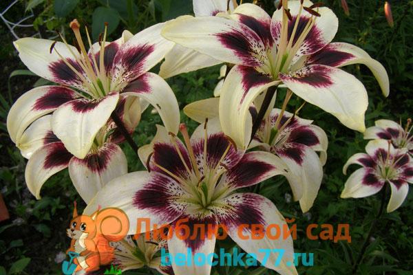 азиатские лилии