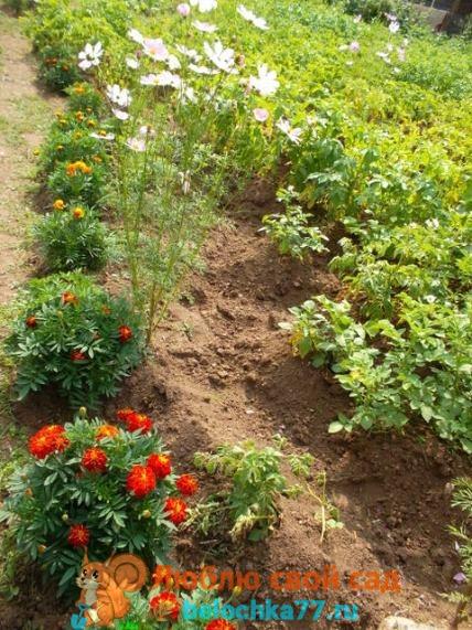 народные методы защиты от колорадского жука