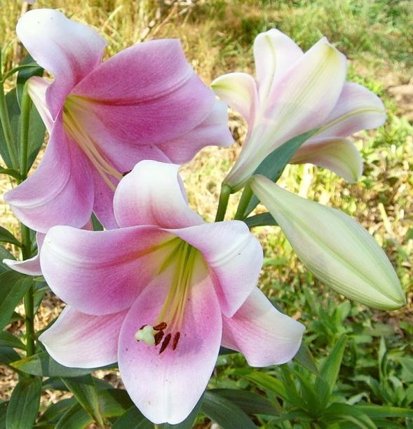 длинноцветковые гибриды лилии