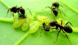 муравьи на участке - борьба народными средствами