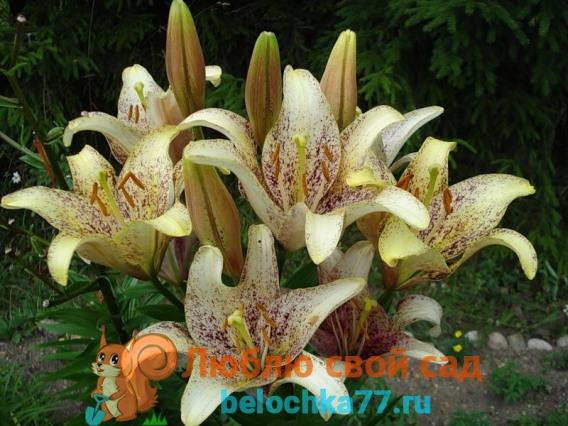 Ла-гибрид лилии