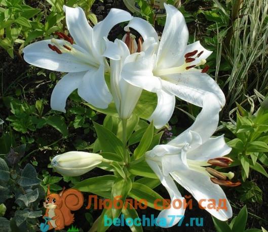 лилия белая кандидум