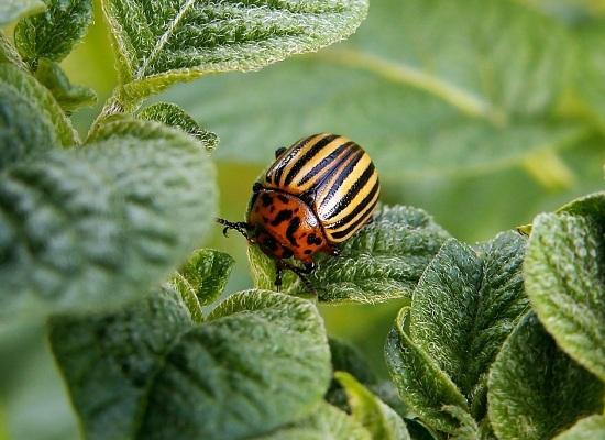 народные методы против колорадского жука