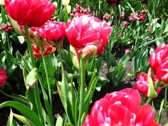 Красивые тюльпаны - выращивание
