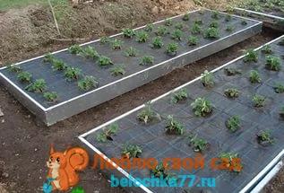 Посадка клубники осенью - основа будущего урожая!