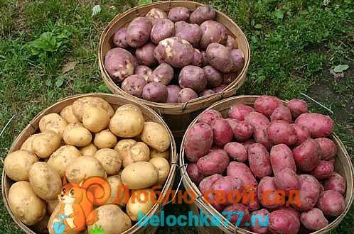 хранение картофеля - разные сорта