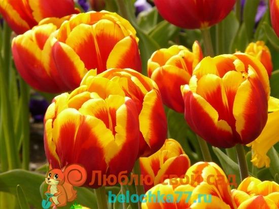 Тюльпаны - посадка и уход в открытом грунте