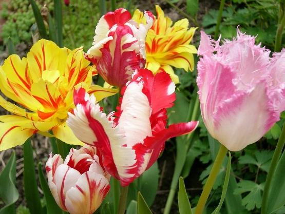 Тюльпаны - посадка и уход в открытом нрунте