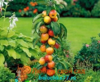 Колоновидные яблони - посадка и уход