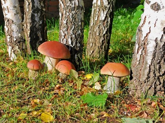 Белый гриб с фото, описанием, как готовить