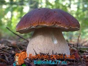 Белый гриб: фото и описание, как готовить