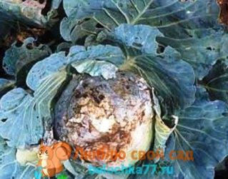 Болезни капусты с фото, описанием и лечением