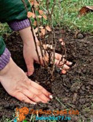 Посадка барбариса в яму