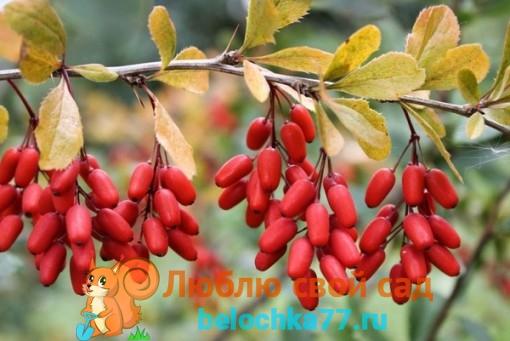 лечебные ягоды барбариса