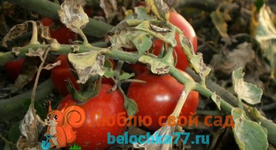 Бактериальное увядание томатов (бактериоз)