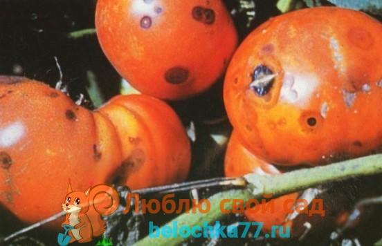 Болезни помидоров Антракноз