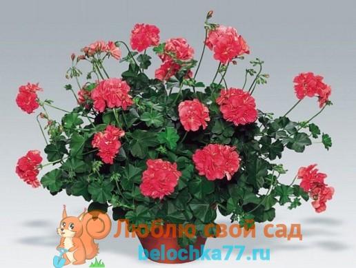 Пеларгония или герань плющелистная (Pelargonium)