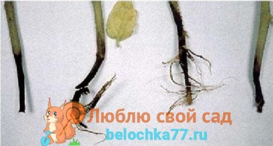 Корневая гниль или черная ножка помидоров