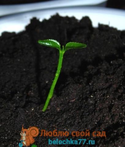 Апельсин выращивание из семян