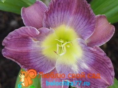Сорт Орхид элеганс (Orchid Elegance)