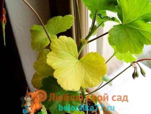 Почему у герани желтеют листья