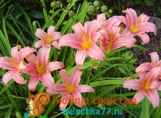 Сорт Розовый Дамаск (Pink Damask)