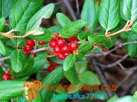 Shepherdia canadensis - Шефердия канадская.