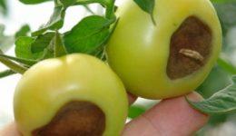 Болезни помидоров с фото и описанием