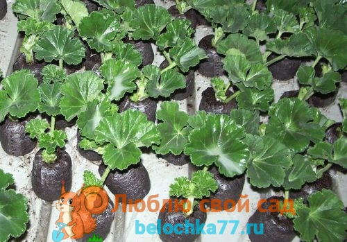 Выращивание пеларгонии из черенков