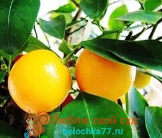 Как вырастить апельсин из косточки вдомашних условиях