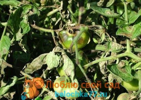 Болезни помидоров - фитофтора