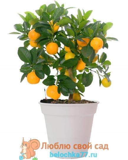 Апельсин с плодами фото