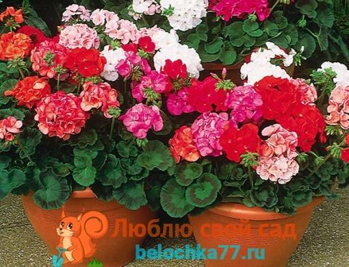 Пеларгония или герань комнатная (Pelargonium)