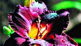 Лилейники – посадка и уход в открытом грунте