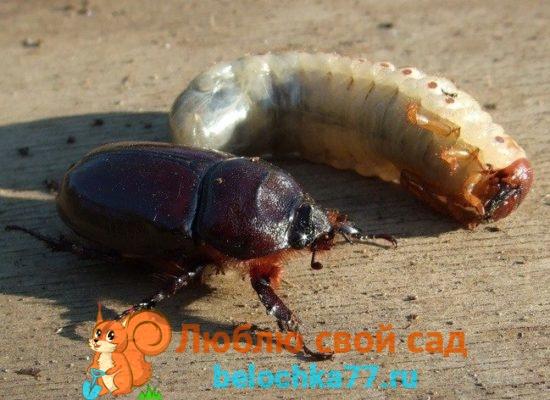 Личинка майского жука