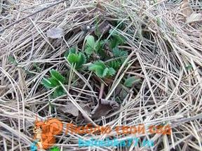 Укрытие клубники осенью