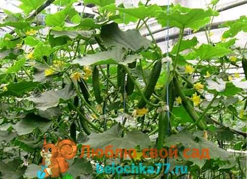 Фото салатного сорта партенокарпических огурцов