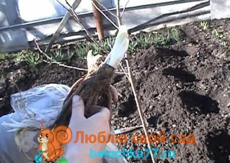корневище лилейника
