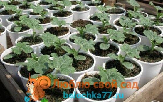 Выращиваниие арбуза - посадка и уход