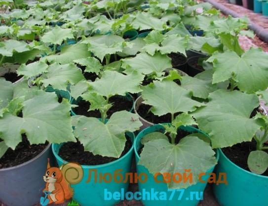 Огурцы рассада для выращивания в домашних условиях