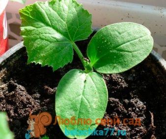 Огурцы: выращивание рассады в домашних условиях