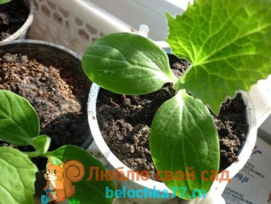Огурцы: выращивание рассады