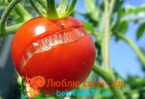 Растрескивание плодов томата