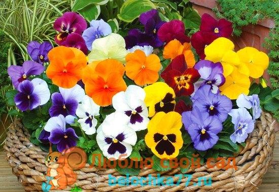 многолетние цветы - виола