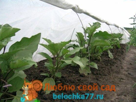 Выращивание в открытом грунте баклажан